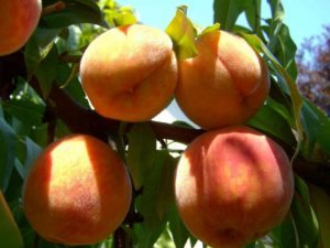 peaches can be picked at boone hall plantation and gardens